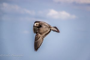 Conlin Photography Wildlife 9
